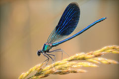 Blaue Libellennahaufnahme auf einer goldenen Niederlassung des Weizens Lizenzfreie Stockfotografie