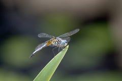 Blaue Libellennahaufnahme auf Irisblatt Lizenzfreie Stockfotos