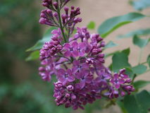 Blaue lila Blüte Lizenzfreies Stockbild