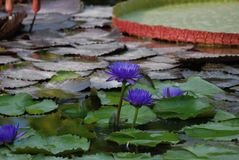 Blaue Lotus Water Lily Garden lizenzfreie stockbilder