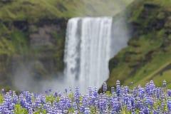 Blaue Lupines und riesiger Wasserfall in Island Lizenzfreies Stockfoto
