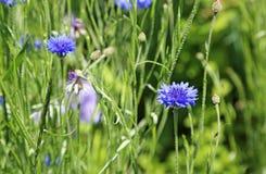 Blaue Maisblume lizenzfreie stockfotografie