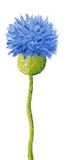 Blaue Maisblume Lizenzfreies Stockfoto