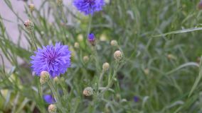 Blaue Maisblume stock video