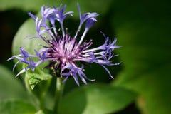 Blaue Maisblume auf Feldseite des schwarzen Waldes lizenzfreie stockfotografie