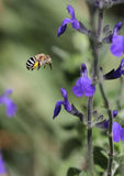 Blaue mit einem Band versehene Biene Lizenzfreie Stockfotografie