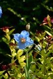Blaue Mohnblume im Garten lizenzfreie stockfotografie