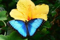Blaue Morpho Basisrecheneinheit Lizenzfreies Stockbild