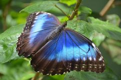 Blaue Morpho Basisrecheneinheit Lizenzfreie Stockbilder