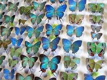 Blaue Morpho-Schmetterlingssammlung, morpho didius, stellte sich in einem Rahmen, Costa Rica dar Lizenzfreies Stockbild