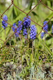 Blaue Muscari-Blumen-Trauben-Hyazinthe, Tschechische Republik, Europa stockfotos