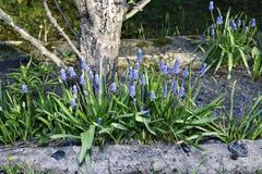 Blaue Muscariblumen an einem sonnigen Tag Stockfoto