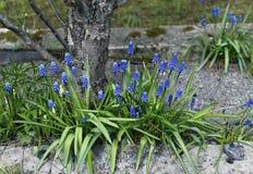 Blaue Muscariblumen an einem sonnigen Tag Stockbild
