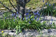 Blaue Muscariblumen an einem sonnigen Tag Stockbilder
