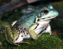 Blaue Nahaufnahme des grünen Frosches Lizenzfreie Stockfotos