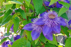 Blaue Neigungs-Blume Stockbilder