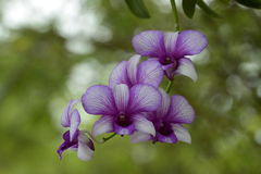 Blaue Orchideen Lizenzfreie Stockfotos