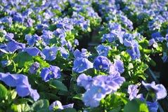 Blaue Pansies Stockbild