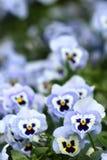 Blaue Pansyblumen Stockfoto