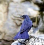 Blaue Pfeifen-Drossel Stockbild