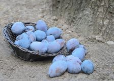 Blaue Pflaumen aus den Grund Lizenzfreie Stockfotos