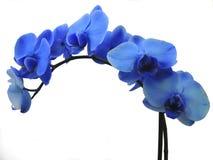 Blaue Phalaenopsis-Orchidee Lizenzfreie Stockfotografie