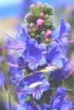 Blaue purpurrote Blume Lizenzfreie Stockbilder