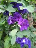 Blaue purpurrote Blume Stockbild