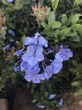 Blaue purpurrote Blume Lizenzfreie Stockfotografie