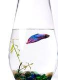 Blaue/purpurrote siamesische kämpfende Fische - Betta Splenden Stockfotos
