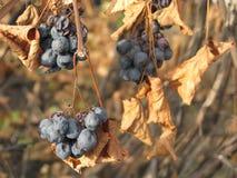 Blaue Rebe in den trockenen Blättern des Herbstes Stockfotografie