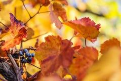 Blaue Rebtraube auf Weinstock mit einigem verlässt in einer styrian Rebe Stockbilder