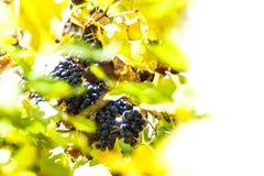 Blaue Rebtraube auf Weinstock mit einigem verlässt in einer styrian Rebe Lizenzfreie Stockfotos
