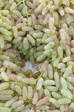 Blaue Rebtrauben Trauben für die Herstellung des Eisweins Ausführliche Ansicht von gefrorene Weinreben in einem Weinberg im Herbs stockfoto