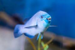 Blaue Riff-Fische, die für den Zuschauer lächeln Stockbild