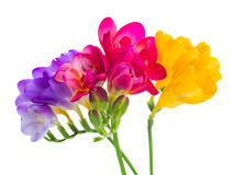 Blaue, rosa und gelbe Freesieblumen Lizenzfreies Stockbild