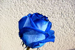 Blaue Rose Lizenzfreies Stockbild