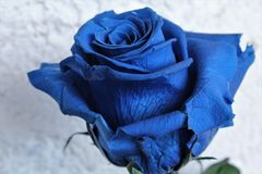 Blaue Rose stockfotografie