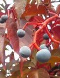 Blaue runde Beeren Lizenzfreies Stockbild