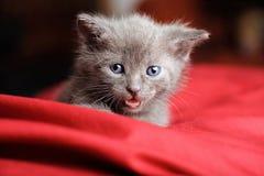Blaue russische Katze auf rotem Kissen Stockfotos