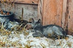 Blaue russische Katze des grünen Auges Stockbild