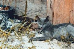 Blaue russische Katze des grünen Auges Stockfotografie
