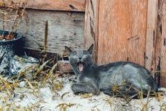 Blaue russische Katze des grünen Auges Stockbilder