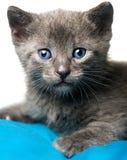 Blaue russische Katze, die Kamera betrachtet Stockbild