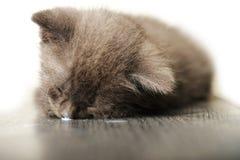 Blaue russische Katze, die mit Wekzeugspritze im Milch-Tropfen schläft Stockbilder