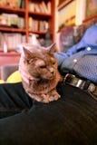 Blaue russische Katze, die seiend gestreichelt sich entspannt, liegt und genießt, zu Hause verwöhnend und auf seinem Schossinhabe stockfotos