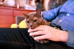 Blaue russische Katze, die seiend gestreichelt sich entspannt, liegt und genießt, zu Hause verwöhnend und auf seinem Schossinhabe stockfoto
