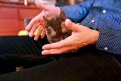 Blaue russische Katze, die seiend gestreichelt sich entspannt, liegt und genießt, zu Hause verwöhnend und auf seinem Schossinhabe lizenzfreies stockbild