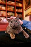 Blaue russische Katze, die seiend gestreichelt sich entspannt, liegt und genießt, zu Hause verwöhnend und auf seinem Schossinhabe stockbild