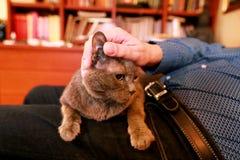 Blaue russische Katze, die seiend gestreichelt sich entspannt, liegt und genießt, zu Hause verwöhnend und auf seinem Schossinhabe lizenzfreie stockfotos